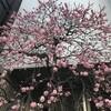 満開の梅の花@好文画廊(浜町中の橋交差点)