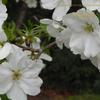 匂い桜  新宿御苑のオオシマザクラ