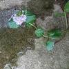 【植物日記】花が咲いたオーデコロンミント