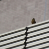 石神井公園の野鳥 キビタキ他 2021年4月18日
