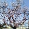 70代シニアのインスタグラム348日~杏の花が満開です!