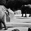 安佐動物園写真②「象」
