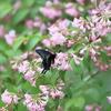 5/14/2017・タニウツギの花にやってきた黒いパピリオに癒されました