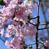 桜の話題ばかりですが、そろそろ落ち着く・・・
