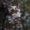 Elmar 9cm 1:4 & α7でご近所の桜を撮る(撮れました)