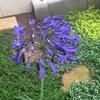 アガパンサスが2年目でついに開花! まさに弾ける青色の花火!