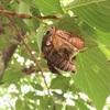 セミの羽化を見たことがありますか?夏休みの自由研究にもオススメ