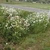 マーガレット 一部を残して Argyranthemum frutescens