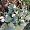 斑入りツワブキの浮雲錦から種を採取、今年こそ植えて成果を出す!