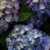 紫陽花の季節①