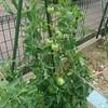 トマトの第一花房を取り除いたら、トマトが最高の出来になった!