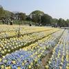 大阪)花博記念公園鶴見緑地。新緑、八重桜、ネモフィラ。