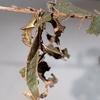 裸の枝に枯葉が一枚。スミナガシの蛹はすごい。