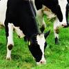 【あっきーの備忘録】「育成牛」と「搾乳牛」