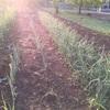 ニンニク畑