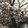 信州各地から桜の便り続々と