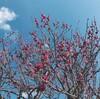 梅を観に水月公園