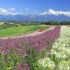 マイルを使って親孝行しよう。北海道にラベンダーを見に行ってきます!