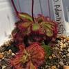 Drosera admirabilis