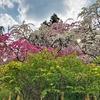 小夜戸・大畑花桃まつり~~渓谷の景色を見ながら花桃を楽しむ~~