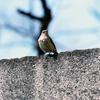 大阪城公園の野鳥 2020.3.20〜21