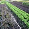 農園日誌Ⅲ-むかし野菜の四季