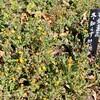 「佐久の季節便り」、「冬知らず」の花が、暖かさに全開…。