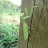 カマキリやカマドウマに寄生するハリガネムシ 秋の水辺にいる虫に入っているかも!?