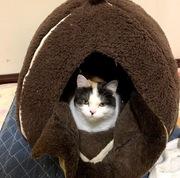 子猫(8ヵ月)が避妊手術後1ヵ月経ってワイルドに太った。誕生日が西野七瀬と同じゆえ、それは許されない。エサを避妊後の体重ケア用に変えてダイエットする。