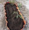オリーブ  庭植え