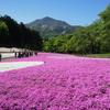 羊山公園の芝桜・秩父の春