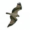 師走に利根川下流域を飛ぶミサゴ