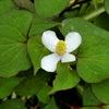 ドクダミの花 (鹿児島県 霧島市 プリザーブドフラワー ハートローズ)
