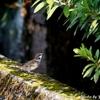 日本 散歩道のスズメ