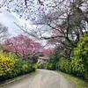 全国一早い桜祭り🌸