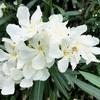 キョウチクトウの白花