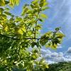 柿若葉裏まで雲を透き通す(あ)