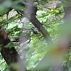 個人的には今季初のツツドリ・マミジロ(大阪城野鳥探鳥 2017/09/23 5:20-13:15)