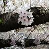 桜を撮ろう