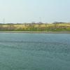 利根川と菜の花