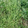 無農薬ニンジンを収穫しまた@新潟EMBC複合発酵バイオで栽培する健康農産物