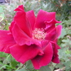 2011/11/04 クリムゾングローリーの香りが素敵