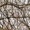 秋が瀬公園のベニマシコ