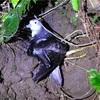 オオミズナギドリ激減、犯人は野ネコ 森に転がる翼と骨