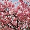 2月満開の寒緋桜と河津桜