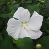 ムクゲ。お隣り韓国の花。