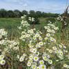 土曜日:エリゲロンが咲く