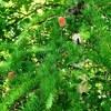 赤い松ぼっくり(松の花)