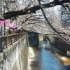 2017年 今年も桜の目黒川 郷さくら美術館で「第5回桜花展」開催中