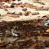 エゾビタキの水場に参入するヤマガラとシジュウカラ